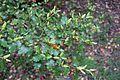 Nothofagus fusca - RHS Garden Harlow Carr - North Yorkshire, England - DSC01193.jpg