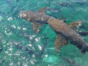 Hol Chan Marine Reserve - Nurse Sharks swimming at Hol Chan Marine Reserve