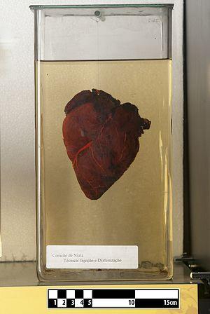 Nyala - Nyala heart (Tragelaphus angasii)