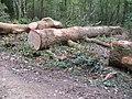 Oak tree logs in Petsalls Copse - geograph.org.uk - 1544505.jpg