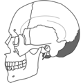 Occipital Bone Simple.png