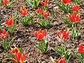 Odtworzony wygląd pierszych tulipanów.JPG