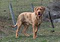 Ole Dan Catahoula Bulldog.jpg