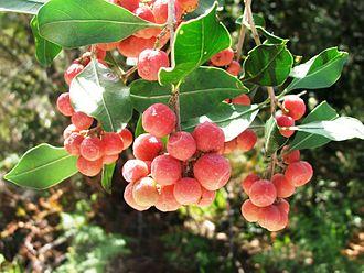 Olinia emarginata - Image: Olinia emarginata tree South Africa 5