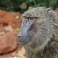 Olive baboon (Papio anubis) head, Semliki Wildlife Reserve.jpg