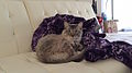 One Year Old Siamese Tabby Cat 2 2015-04-03.JPG