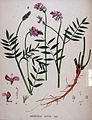 Onobrychis sativa — Flora Batava — Volume v20.jpg