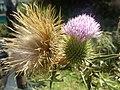 Onopordum acanthium - γαϊδουράγκαθο 01.jpg