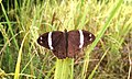 Open wing basking position of Lethe confusa Aurivillius, -1898- – Banded Treebrown.jpg