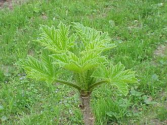 Araliaceae - Image: Oplopanax horridus 0