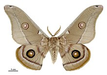 Opodiphthera eucalypti male.jpg