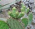 Opuntia lindheimeri – Cowtongue Prickly Pear.jpg