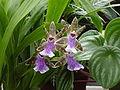 Orchid1862.JPG