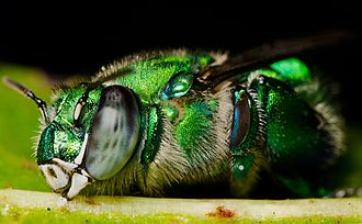 Euglossini - The special fragrance collection organs are seen on the large hind legs of this Euglossa viridissima as it sleeps on a leaf