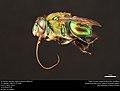 Orchid bee (Apidae, Euglossa hansoni (Moure)) (36849411501).jpg