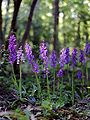 Orchis mascula Saarland 133.jpg
