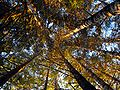 Oregon Trees Up View.jpg
