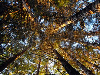 Vesper, Oregon - Trees near the Clatsop State Forest in Vesper.