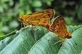 Oriens goloides - Smaller Dartlet Mating 06.JPG
