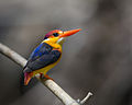 Oriental Dwarf Kingfisher.jpg