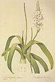 Ornithogalum conicum in Les liliacees.jpg