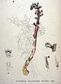 Orobanche pallidiflora — Flora Batava — Volume v20.jpg