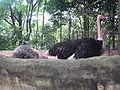Ostrich, Jurong BirdPark 4.JPG