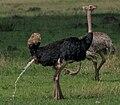 OstrichDischarge.jpg