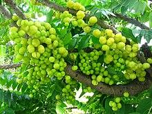 Phyllanthus - Chi Phyllanthus 220px Otaheite gooseberry