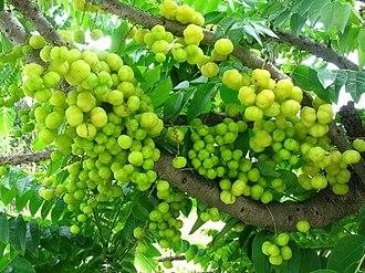 Phyllanthus acidus - Fruits