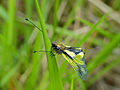 Owlfly (Libelloides coccajus) male (14162451714).jpg