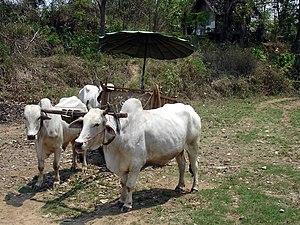 Inthakhin - Image: Ox cart riding, Mae Ping, Inthakhin