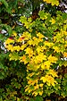 Pörtschach 10.-Oktober-Straße Ahornbaum Blattwerk 10112019 7330.jpg