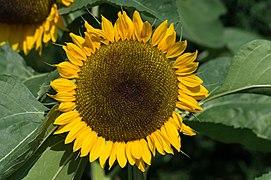 Pörtschach Zehnte Oktober Strasse 65 Sonnenblume 12082015 1340.jpg