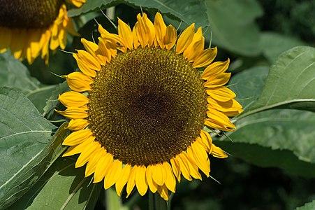 Sunflower on 10. Oktober Strasse #65, municipality Pörtschach am Wörther See