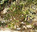 Pachypodium lealii ies.jpg