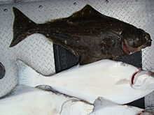 California halibut