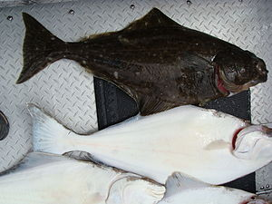Halibut - Halibut tend to be a mottled dark brown on their upward-facing side and white on their downside