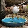 Pacific Reef Heron (31396251514).jpg