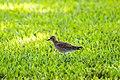 Pacific golden-plover (30590517746).jpg