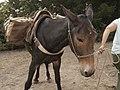 Pack Mule being led (16189497169).jpg