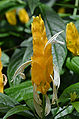 Pacystachys lutea Flower.JPG
