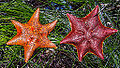 Pair of Asterina miniatas Bat stars.jpg