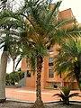 Palma de dátil (Phoenix dactylifera) (14529007285).jpg
