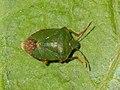 Palomena prasina 126664309.jpg