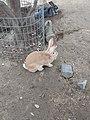 Palomino rabbit.jpg