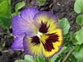 Pansy flower2.jpg