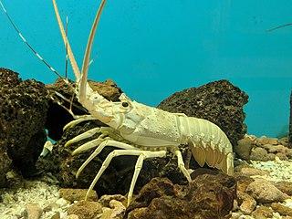 <i>Panulirus homarus</i> species of crustacean