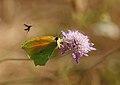 Papallones de casa meva - Llimonera taronja - Gonepteryx cleopatra (5165765727).jpg