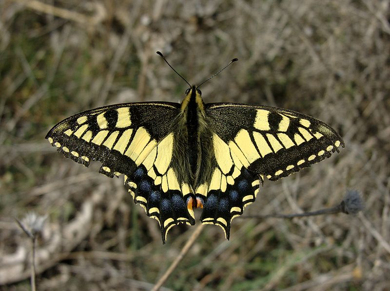 Archivo:Papilio machaon M 1.jpg
